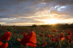 Horizontal View of Poppies Field Illuminated by the Setting Sun Royalty Free Stock Photos