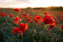 Horizontal View of Poppies Field Illuminated by the Setting Sun Royalty Free Stock Photo