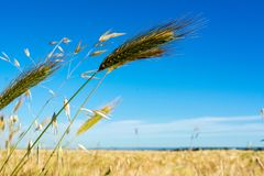 Horizontal View of some Hears of Wheat on Wheat Field and Blue S. Ky Background. Pulsano, Taranto, South of Italy Royalty Free Stock Photo