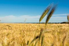 Horizontal View of some Hears of Wheat on Wheat Field and Blue S. Ky Background. Pulsano, Taranto, South of Italy stock photo