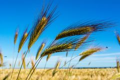 Horizontal View of some Hears of Wheat on Wheat Field and Blue S. Ky Background. Pulsano, Taranto, South of Italy royalty free stock images