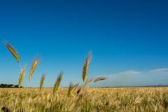 Horizontal View of some Hears of Wheat on Wheat Field and Blue S. Ky Background. Pulsano, Taranto, South of Italy stock photography