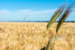 Horizontal View of some Hears of Wheat on Wheat Field and Blue S. Ky Background. Pulsano, Taranto, South of Italy Stock Image