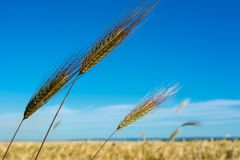 Horizontal View of some Hears of Wheat on Wheat Field and Blue S. Ky Background. Pulsano, Taranto, South of Italy Royalty Free Stock Photography