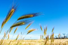 Horizontal View of some Hears of Wheat on Wheat Field and Blue S. Ky Background. Pulsano, Taranto, South of Italy Royalty Free Stock Image