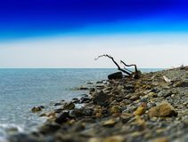 Horizontal vivid dry tree trunk on rocky ocean beach  background. Backdrop nobody blank empty space sparse vibrant bright color rich blue clear sky gradient royalty free stock photos
