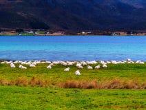Horizontal vivid Norway sheep flock near fjord Stock Photo