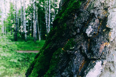 Horizontal vivid trunk tree with green moss Stock Image
