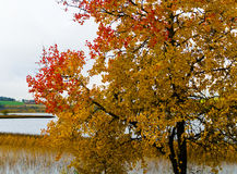 Horizontal vivid yellow red autumn Norway landscape Royalty Free Stock Image