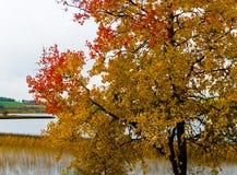 Horizontal vivid yellow red autumn Norway tree landscape paintin. G background backdrop medium format detail sharp resolution vibrant bright color blank empty stock photography