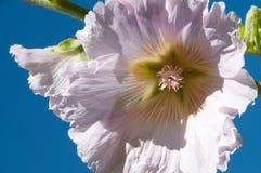 Horizontal von der Stockroseblume im Stil Georgia O'Keeffes lizenzfreies stockfoto