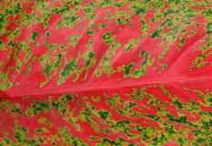 Horizontal von rosa Dieffenbachia-Blatt-strukturiertem Hintergrund Stockbild