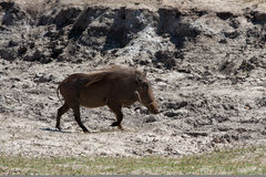 Horizontal warthog running Stock Photography