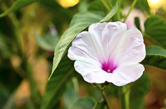 Horizontal White fluted Hibiscus Royalty Free Stock Photos