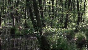Horizontal wiring.Down on the water.The play of light and shadow. A mosquito paradise in a swampy quagmire.Swamp lily in the foreground.Grace in the forest stock video