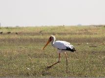 Horizontal yellow billed stork fishing Stock Photography