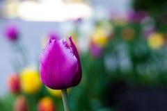 Horizontale abstracte achtergrond Close-up Mooie purpere tulpen Flowerbackground, gardenflowers De bloemen van de tuin Stock Fotografie