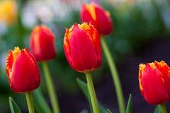Horizontale abstracte achtergrond Mooie rode tulpen Flowerbackground, gardenflowers De bloemen van de tuin Royalty-vrije Stock Afbeeldingen