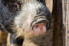 Horizontale Ansicht des Abschlusses oben der rosa Nase eines Schweins auf Unschärfe Backgr Lizenzfreie Stockbilder