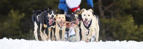 Horizontale Ansicht des Schlittenhunderennens auf Schnee Lizenzfreie Stockfotografie