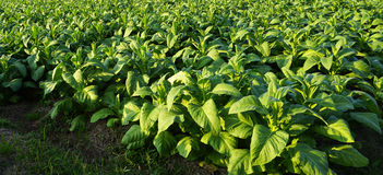 Horizontale de landbouwoogst van het tabakslandbouwbedrijf Stock Fotografie