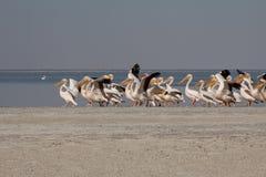 Horizontale pelikanen die het vliegen beginnen Royalty-vrije Stock Afbeeldingen