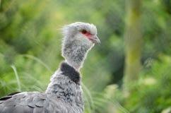 Horizontaler Profil-Kopf südlicher Screamer-Vogel Chauna Torquata Stockfotos