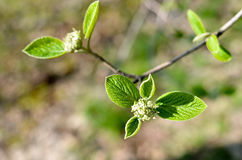 Horizontales Foto des Baumbrunchs mit der fetten grünen reizenden Blattknospe Stockbild