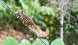 Horizontales geerntetes farbiges Foto eines asiatischen Eichhörnchens mit Lebensmittel Stockfoto