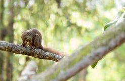Horizontales geerntetes farbiges Foto eines asiatischen Eichhörnchens während eati Stockbild