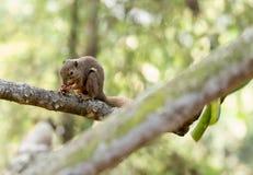 Horizontales geerntetes farbiges Foto eines asiatischen Eichhörnchens während eati Lizenzfreies Stockfoto