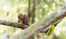 Horizontales geerntetes farbiges Foto eines Eichhörnchens beim Essen seinem Lizenzfreie Stockfotografie