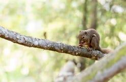 Horizontales geerntetes farbiges Foto eines Eichhörnchens beim Essen seinem Stockfotografie