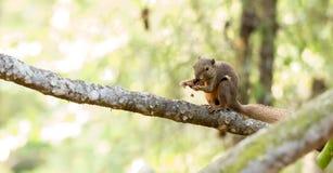 Horizontales geerntetes farbiges Foto eines Eichhörnchens beim Essen seinem Stockfotos