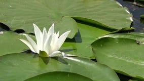 Horizontales Panorama Lilie des weißen Wassers Schöne Wildwasserlilie und tropische Klimata Goldene Kräuselungen im Wasser stock video