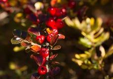 Horizontalis de Cotoneaster con las bayas rojas Fotos de archivo