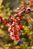 Horizontalis de Cotoneaster dans la chute Photographie stock libre de droits