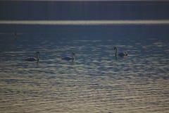 Horizonte del cisne de la montaña del lago foto de archivo libre de regalías