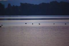 Horizonte del cisne de la montaña del lago imagen de archivo libre de regalías