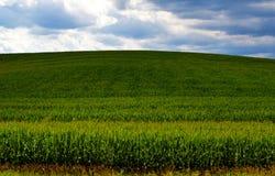 Horizonte del maíz en sombra Imagen de archivo libre de regalías