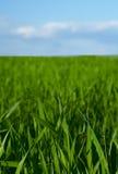 Horizonte e hierba del cielo azul Fotografía de archivo libre de regalías