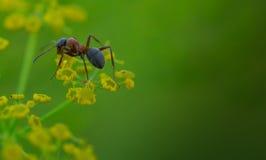 hormiga Fotografía de archivo libre de regalías