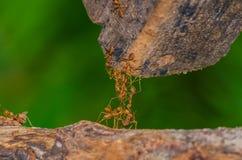 hormiga Imagen de archivo