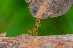 hormiga Foto de archivo libre de regalías