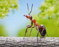 Hormiga agraciada en la ramificación Imágenes de archivo libres de regalías