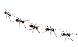 Hormiga aislada en blanco Fotos de archivo