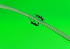 Hormiga aislada en blanco Imagen de archivo libre de regalías