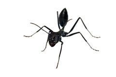 Hormiga aislada en el fondo blanco Imagen de archivo