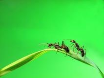 Hormiga aislada en hierba Fotografía de archivo