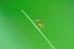 Hormiga amarilla en la hoja Fotografía de archivo libre de regalías